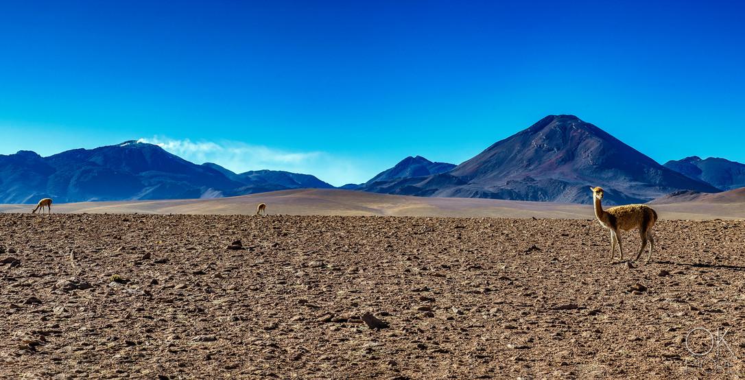 Landscape photography, Atacama desert, Chile, volcanoes, wildlife, guanaco