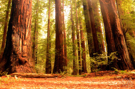 Travel photography destination California: humboldt redwoods, forest large sequoia trees