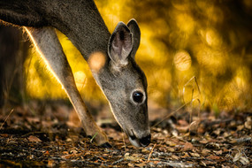 Travel photography destination California: humboldt deer in fall, golden hour, wildlife