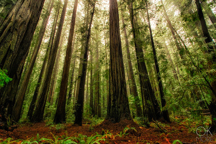 Travel photography destination California: humboldt redwoods, forest in the fall