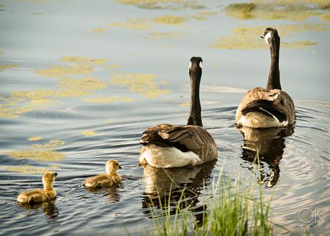 Travel photography, destination Canada ducks wildlife