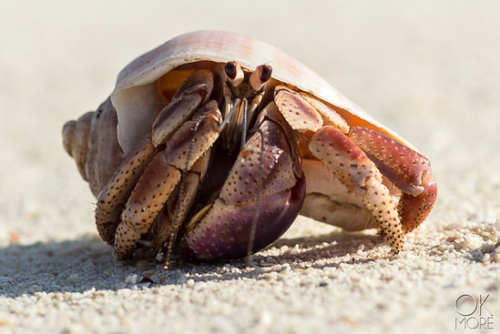 Wildlife photography: Hermit crab on the beach in Cozumel, Mexico
