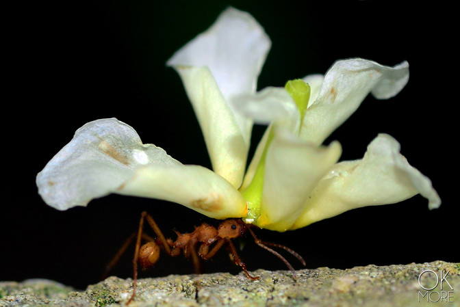Wildlife photography: ant carrying flower at night in Cozumel, Mexico