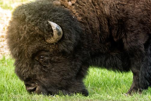 Travel photography, destination Canada, buffalo wildlife