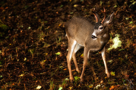 Travel photography destination California: humboldt deer in the woods, young buck, wildlife