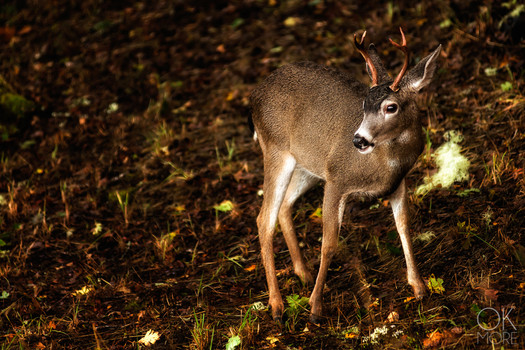Travel photography destination California: humboldt deer in the woods, young buck, wildlife
