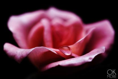 Flower photography: macro shot and bokeh of pink rose
