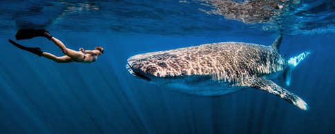 Commercial photography: woman freediver and whale shark, shallow underwater caribbean