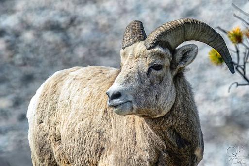 Travel photography, destination Canada rockies, wildlife, Bighorn Sheep