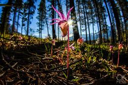Landscape photography: flower in the woods of canadian rockies, banff to jasper highway, saskatchewan crossing