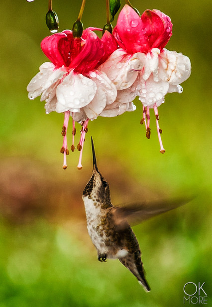 Wildlife photography: hummingbird and Fuscia flowers, northern California
