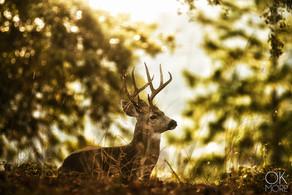 Wildlife photography: northern California deer, buck