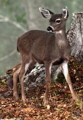 Wildlife photography: fawn, northern california deer