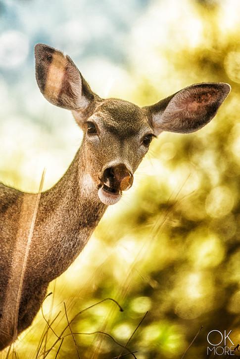 Wildlife photographyWildlife photography: northern California deer, doe