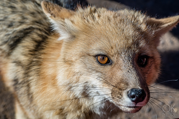 Wildlife photography, Atacama desert, Chile, Fox