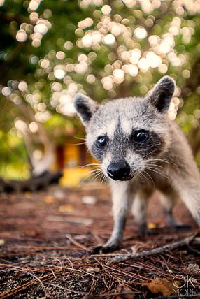 Cozumel, wildlife photography, endemic raccoon