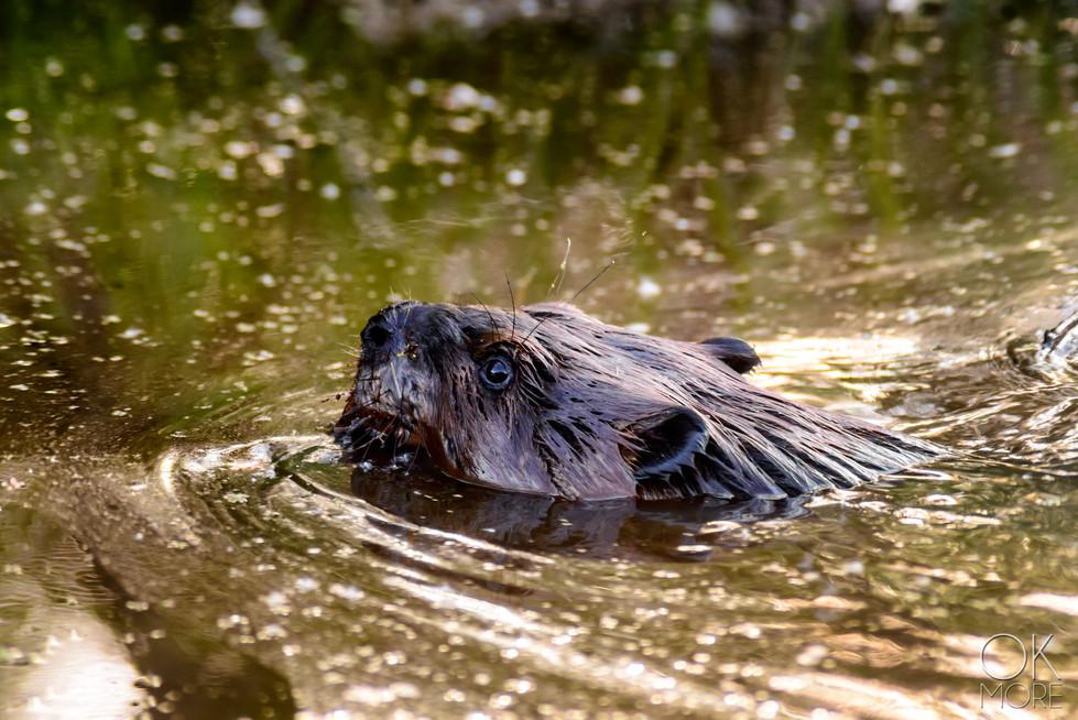Travel photography, destination Canada beaver wildlife