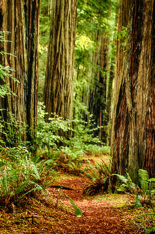 Travel photography destination California: humboldt county, redwood trail, sequoias