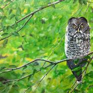 Juvenile Great Grey Owl