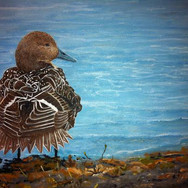 Female Pintail Duck