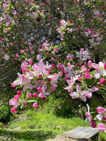 crabapple in blook.jpg