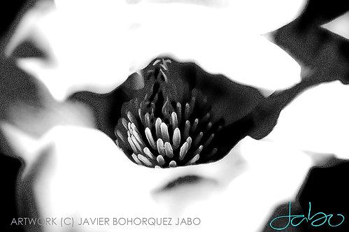 Title: 'Magnolia in Black'
