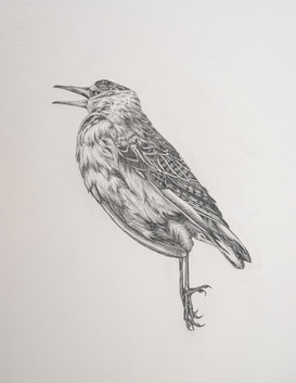 Bird Drawing I