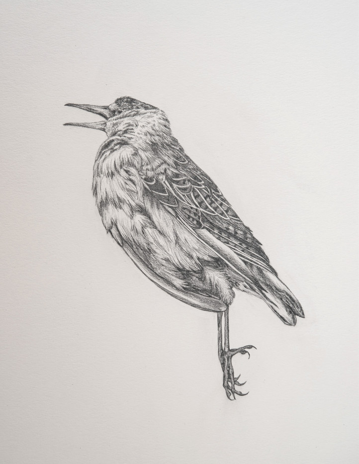 Bird Drawing I