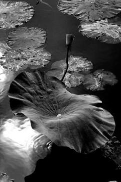 자연이야기-연 Tale of nature-Lotus