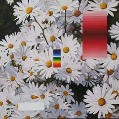 국화꽃과 그라데이션 A chrysanthemum and gradation