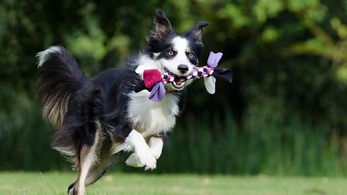 running dog.PNG