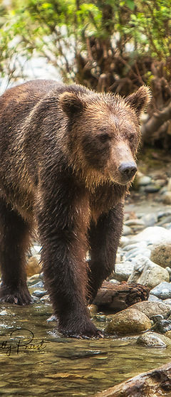 2019-09-07 Grizzly - Campbell River.jpg