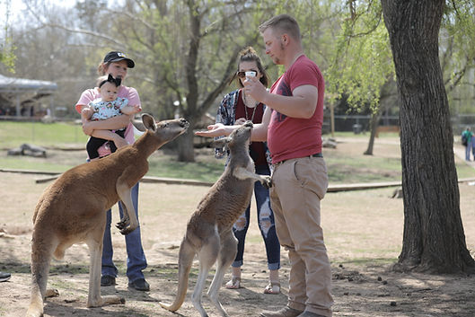Petting a kanagroo