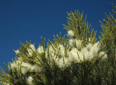 Árbol de Té, usos y virtudes de un gran aceite esencial