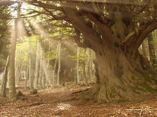 Árboles: Sus leyendas curiosidades y secretos... El Tejo