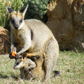 Wallabies looking for a treat