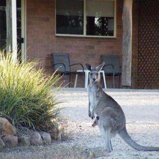 Visiting Kangaroos