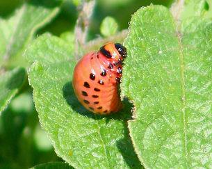 Larve - Doryphore de la pomme de terre- Colorado potato beetle -Leptinotarsa decemlineata