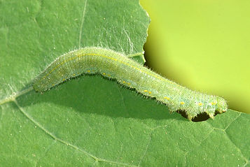 Piéride du chou - Imported cabbageworm / cabbage butterfly - Pieris rapae