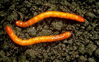 Taupin / Ver fil de fer - Wireworm / Click beetle - Elateridae