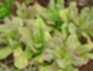 Fixation d'azote sur un plant de soya