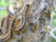 Livrée d'Amérique- Eastern tent caterpillar -Malacosoma americanus