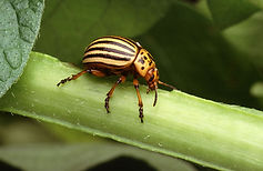 Doryphore de la pomme de terre- Colorado potato beetle -Leptinotarsa decemlineata
