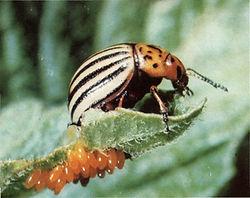 Oeufs - Doryphore de la pomme de terre- Colorado potato beetle -Leptinotarsa decemlineata