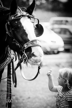 Shire Horse Fabiola Pühringer