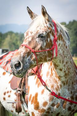 Appaloosa Horse Fabiola Pühringer