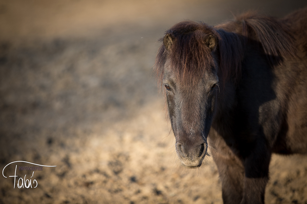 Shetty  Pony Fabis Phtotographie