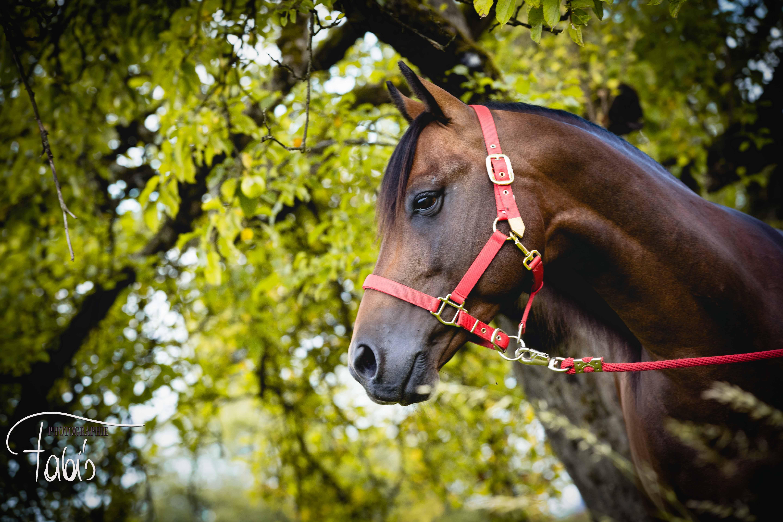Quarter Horse Hengst