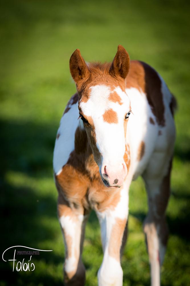 Paint Horse  Fabiola Pühringer