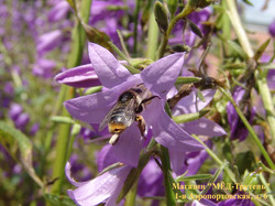 10.Пчела в колокольчике; послеобеденный отдых.jpg